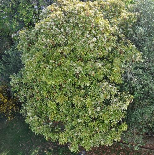 Photinia serrulata Photin13