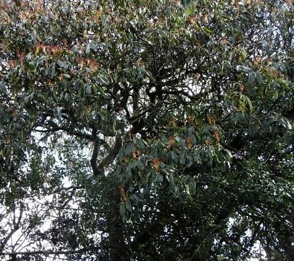 Photinia serrulata Photin14
