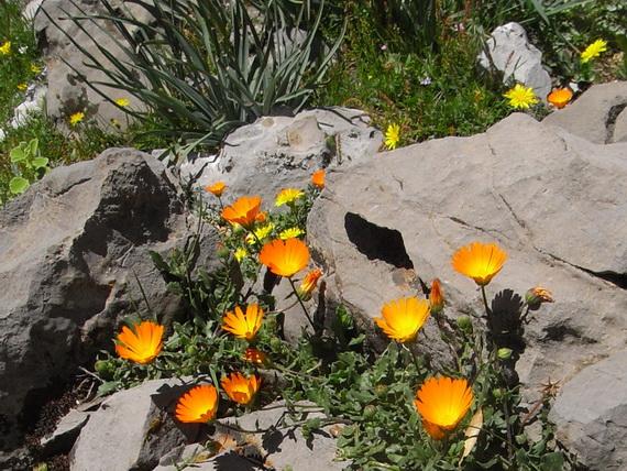 Calendula arvensis - souci des champs Rimg0211