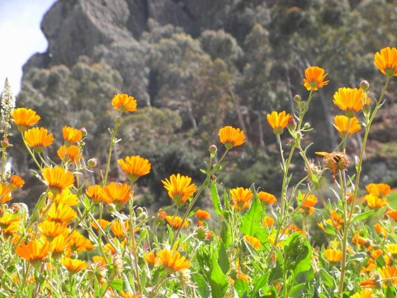 Calendula arvensis - souci des champs Rimg0310