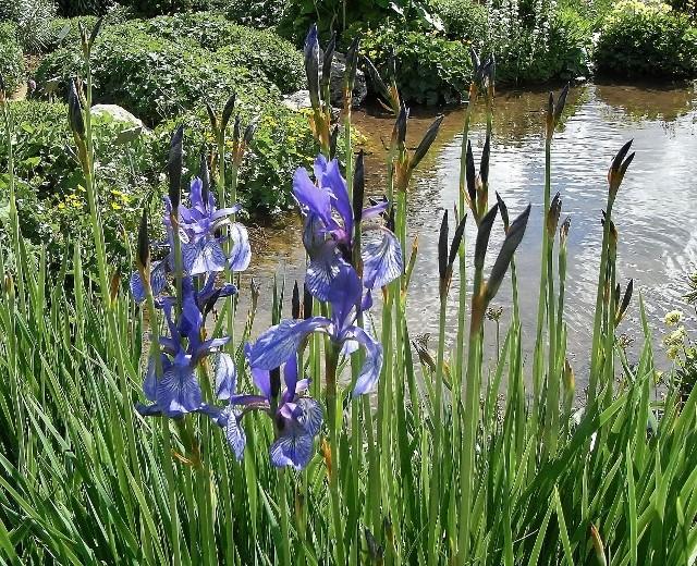 Iris sibirica - iris de Sibérie Rimg5111