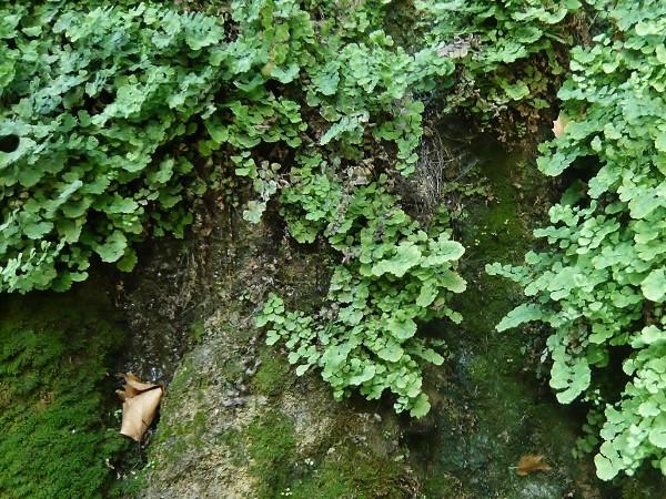 Adiantum capillus-veneris - capillaire de Montpellier Septem10