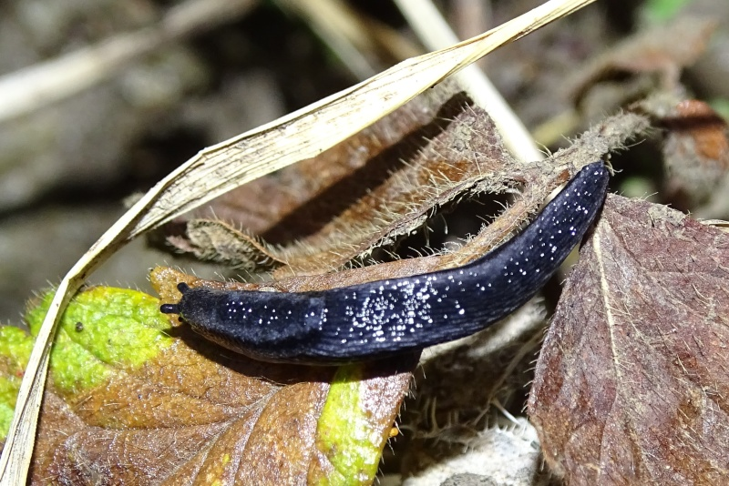 Une limace noire 2015-126