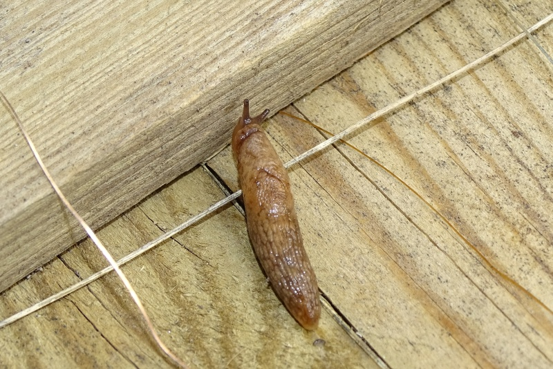 Une limace brune Dsc06313