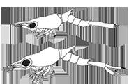Biologie, espèces et comportement des Coenobita Reprod19