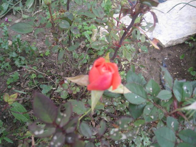 quelques fleurs - Page 3 Photo_16