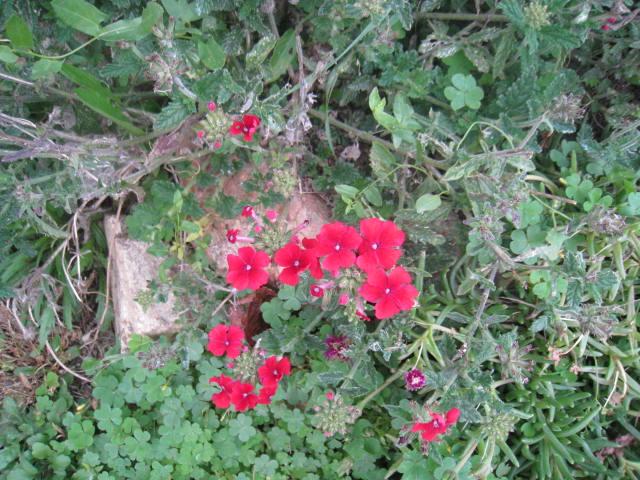 quelques fleurs - Page 3 Photo_17