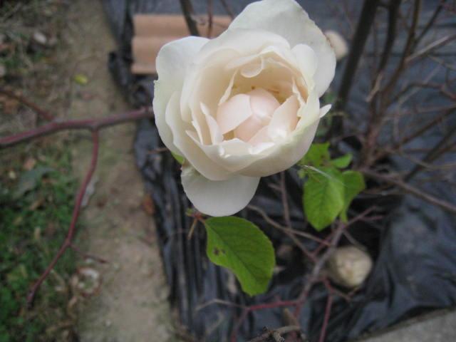 quelques fleurs - Page 3 Photo_21