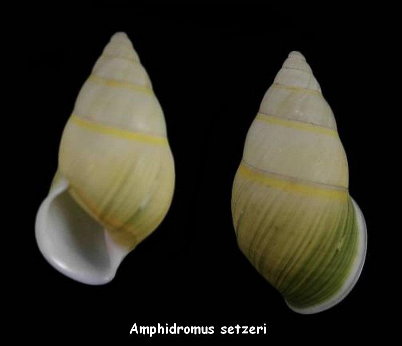 Amphidromus setzeri Thach, 2015 Amphid11