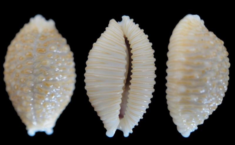 Cypraea nucleus (Nucleolaria) Linnaeus, 1758 Cyprae10