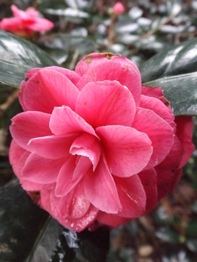 Camellia , saison 2015 - 2016 01510