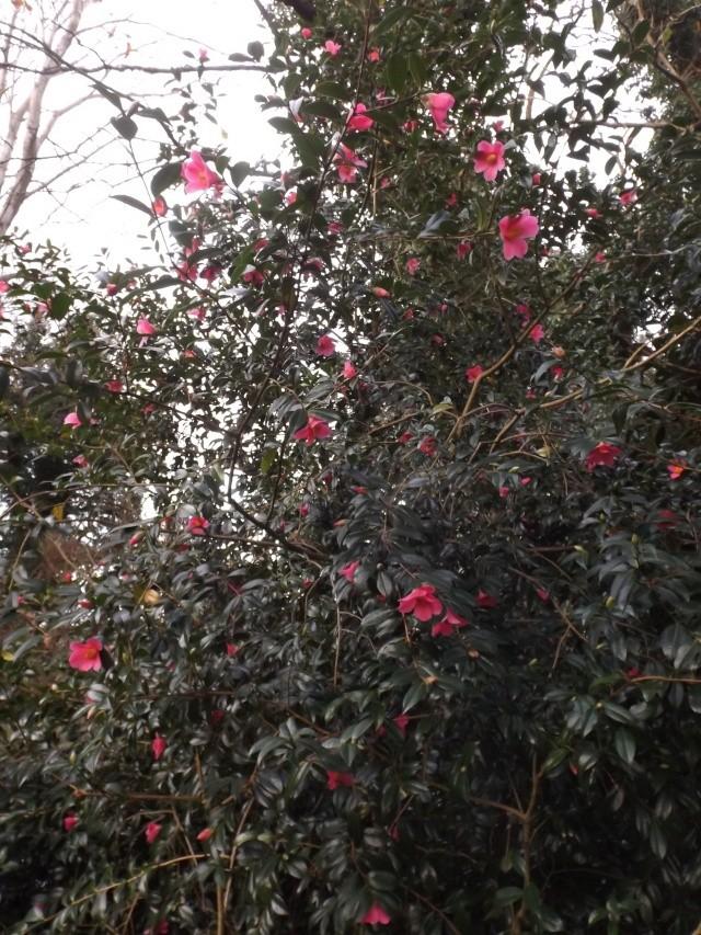 Camellia , saison 2015 - 2016 01610