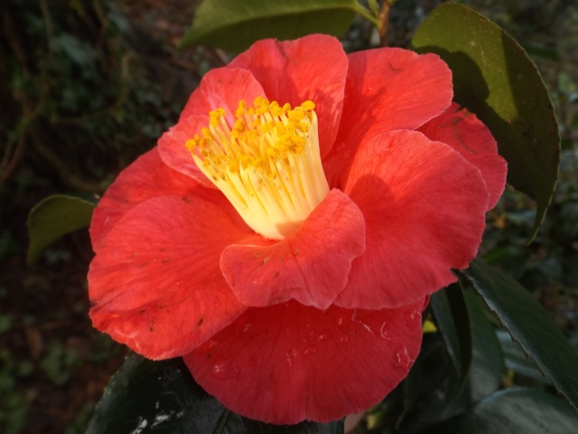 Camellia 'Splendens Carlyon' ? [identification non confirmée] Dscf3634
