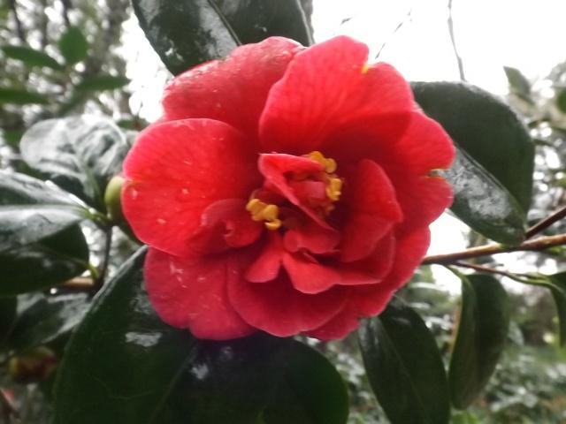 Camellia 'Splendens Carlyon' ? [identification non confirmée] Dscf3717
