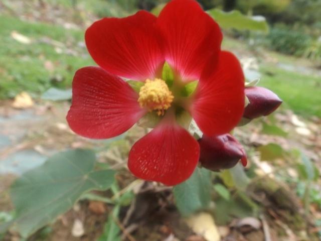 Phymosia umbellata Phymos11
