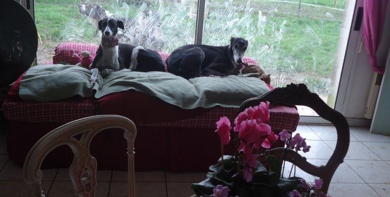 NACHO, galgo noir et blanc, 5 ans  Scooby France - ADOPTE - Page 3 Nacho111