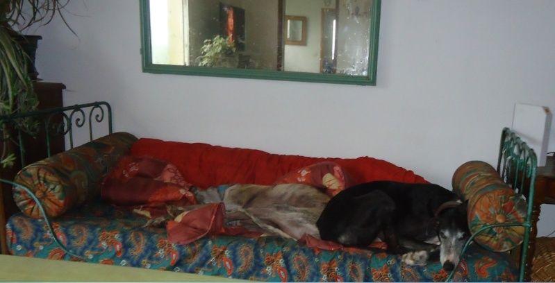 NACHO, galgo noir et blanc, 5 ans  Scooby France - ADOPTE - Page 4 Nacho115