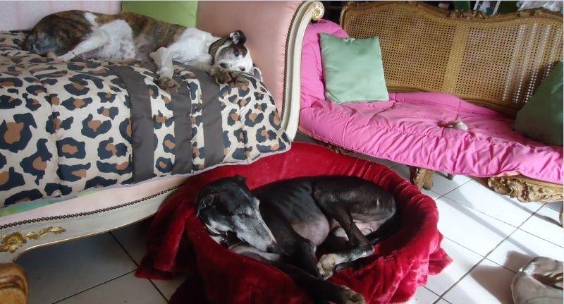 NACHO, galgo noir et blanc, 5 ans  Scooby France - ADOPTE - Page 4 Nacho116