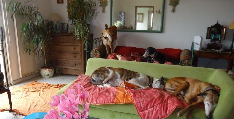 NACHO, galgo noir et blanc, 5 ans  Scooby France - ADOPTE - Page 4 Nacho210