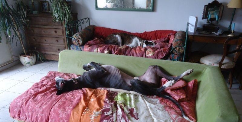 NACHO, galgo noir et blanc, 5 ans  Scooby France - ADOPTE - Page 4 Nacho212