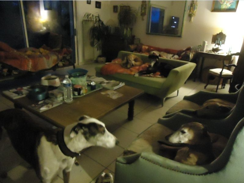 NACHO, galgo noir et blanc, 5 ans  Scooby France - ADOPTE - Page 3 Nacho510