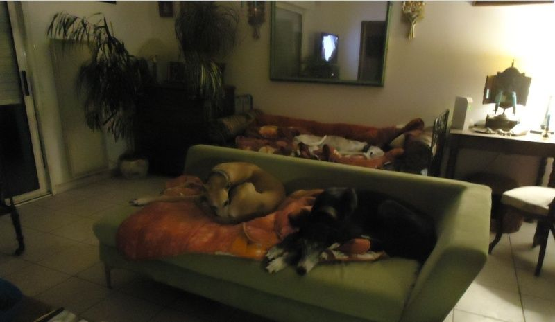 NACHO, galgo noir et blanc, 5 ans  Scooby France - ADOPTE - Page 3 Nacho610