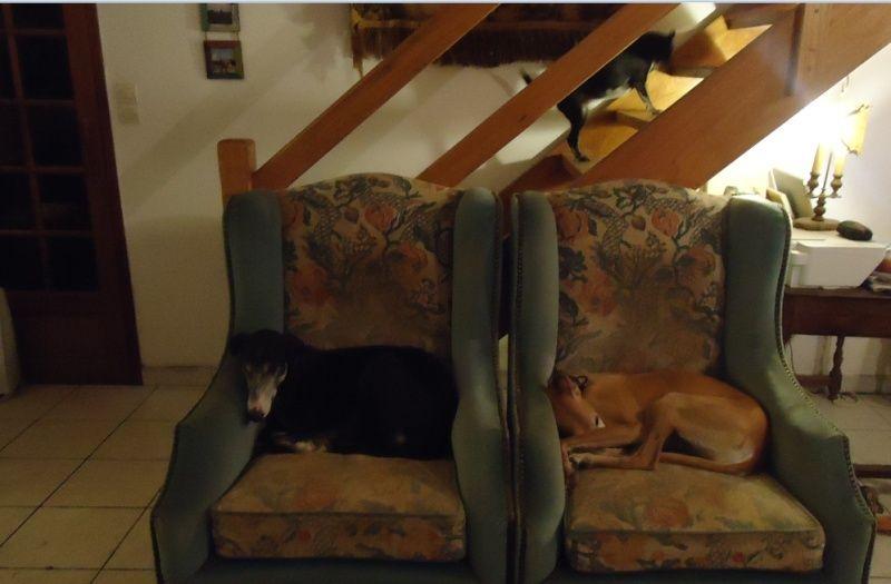NACHO, galgo noir et blanc, 5 ans  Scooby France - ADOPTE - Page 3 Nacho810