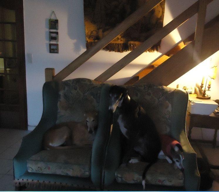 NACHO, galgo noir et blanc, 5 ans  Scooby France - ADOPTE - Page 3 Nacho910