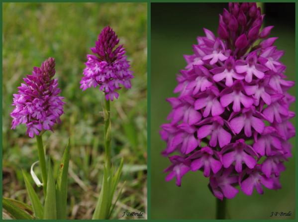 Des orchidées dans vos jardins  Anacam10
