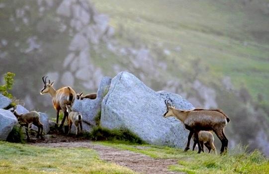 La faune des Hautes Vosges Chamoi11