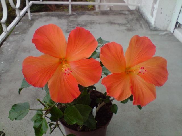 dernières fleurs de mes hibiscus en Décembre P1811110