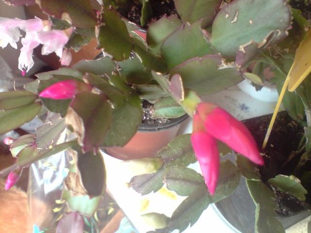 dernières fleurs de mes hibiscus en Décembre P2710110