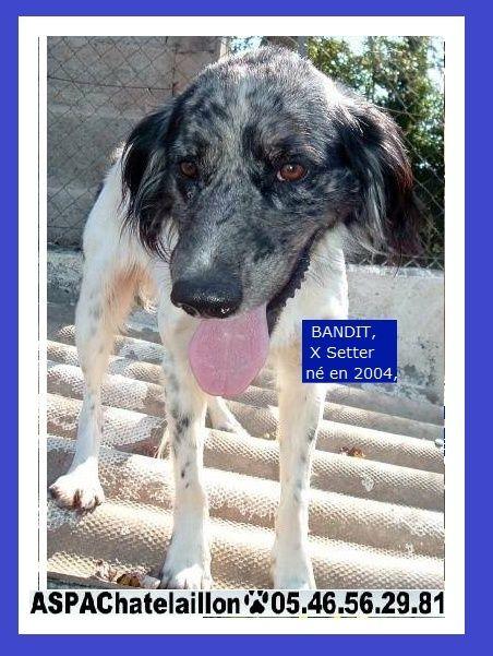 Adoptez moi - BANDIT - x setter 14 ans (12 ans de refuge) ASPAC à Chatelaillon (17) A13