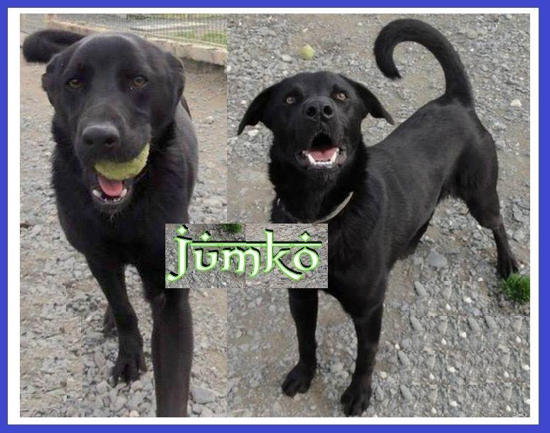 JUMKO - x labrador noir 4 ans (3 ns de refuge)  - ASPAC à Chatelaillon (17) Captur18