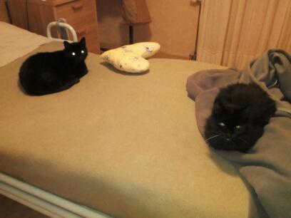 Perdu chatte noire - allée de Morlaix Colomiers  Img_2034