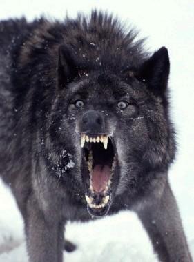 Elemental Wolf OOC Black_10