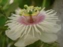 My passifloras Foetid12