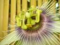 My passifloras Inconn16