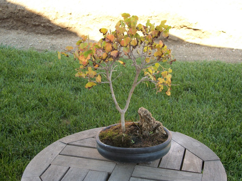Did I kill my maple by re-potting it ? Help please Maple14