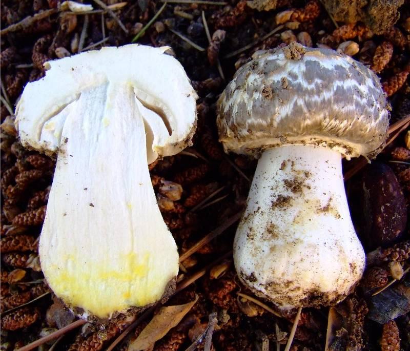 les champignons par ordre alphabétique. - Page 3 Agaric10