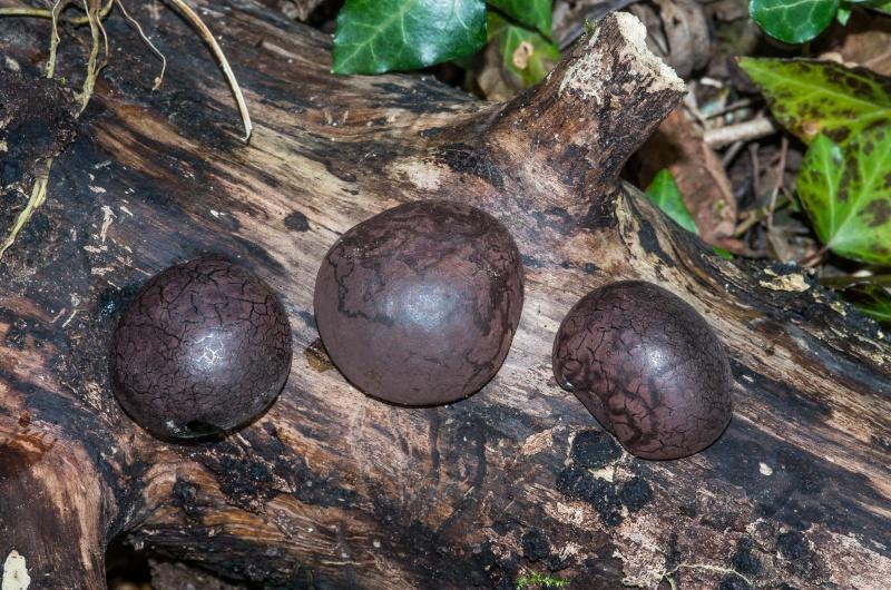 les champignons par ordre alphabétique. - Page 3 Daldin10
