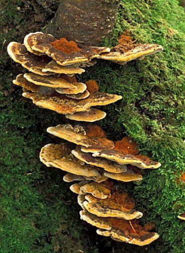les champignons par ordre alphabétique. - Page 5 Inonot10
