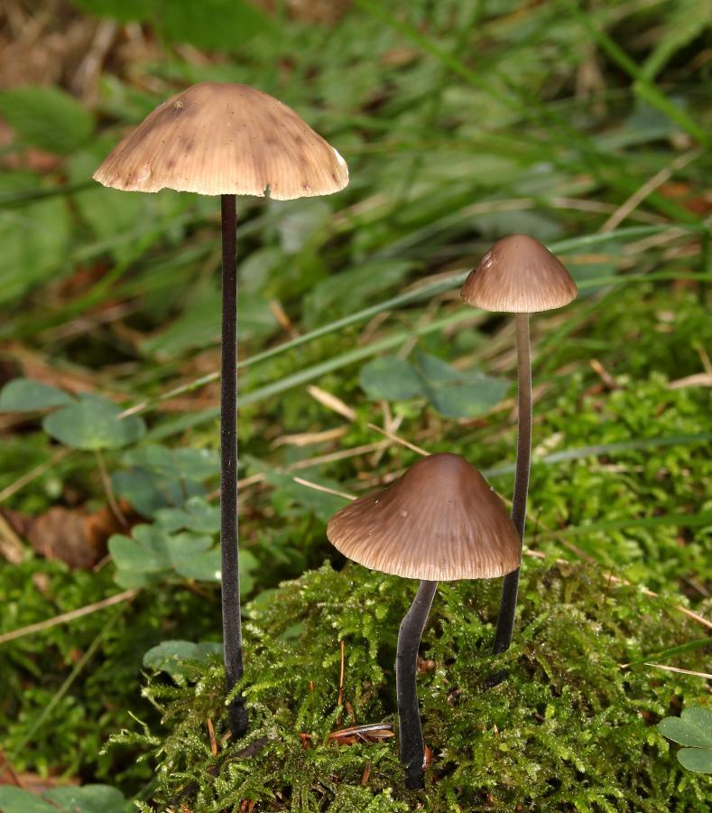 les champignons par ordre alphabétique. - Page 4 Marasm10