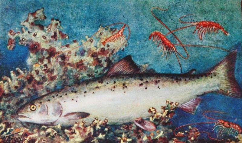 Faune et Flore de la mer par lettre alphabétique. - Page 3 Saumon10