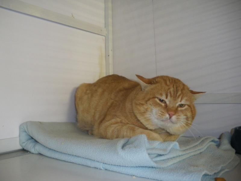FAUVE (chat mâle tigré roux) Imgp0220