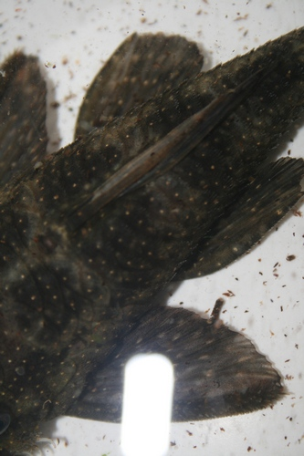 Alot of plecos to i.d Bnunkn11