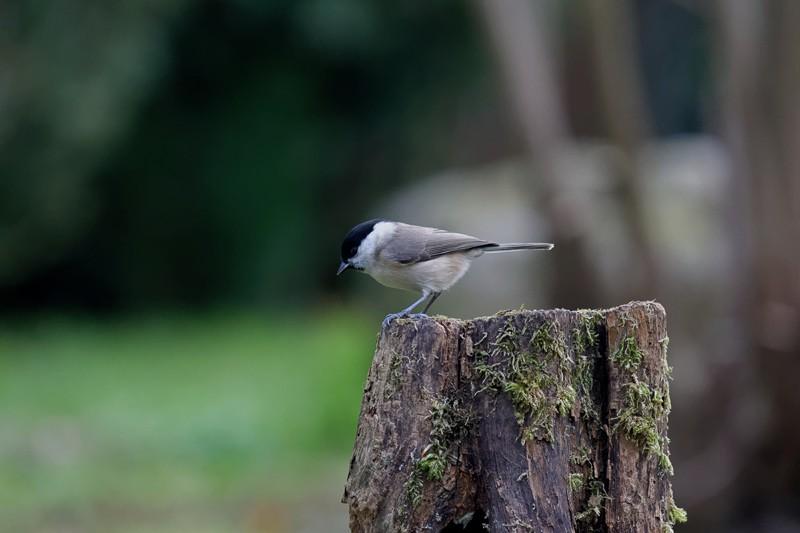 Photographier les oiseaux du jardin Dsc_5411