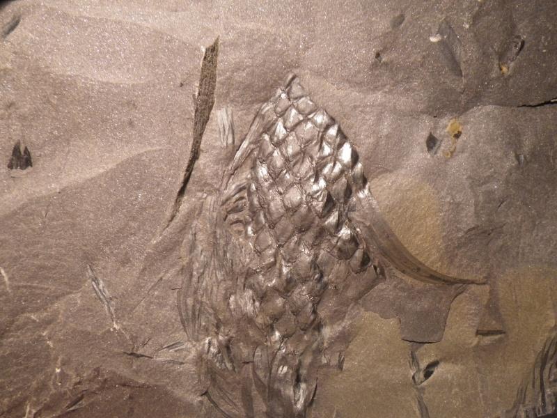 Sigillariostrobus  ou  Lepidostrobus  Imgp8411