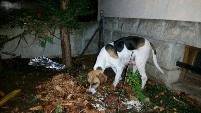 chienne trouvée à Saint-Flour 12436610