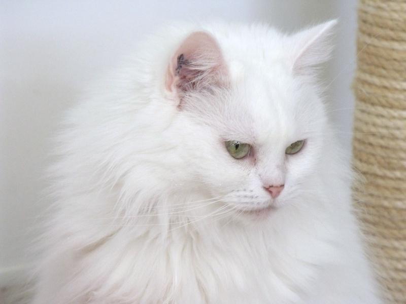 Pussy, chatte type persan à besoin d'un coup de patte Dscf0022